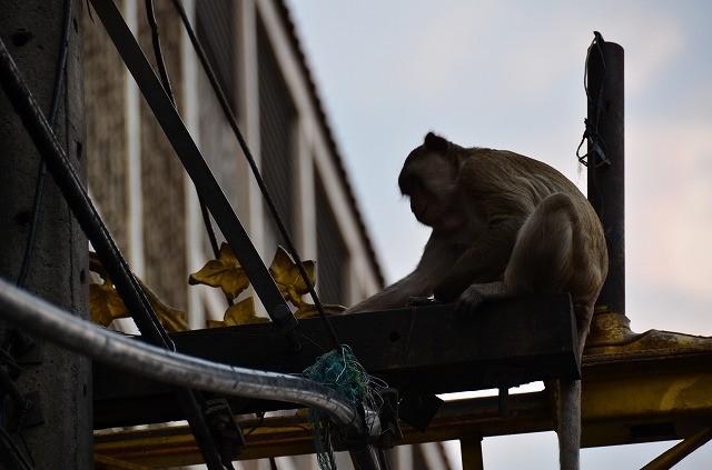 ロッブリーの猿